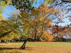 Couleurs Automnales (Daniel Biays) Tags: couleursautomnales autumncolors pauillac gironde arbres trees