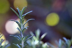 rosemary (1crzqbn) Tags: inmygarden rosemary bokeh macro nature color dof light sun sunlight