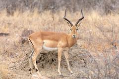 Impala (Photos By RM) Tags: impala aepycerosmelampus antelope krugernationalpark southafrica africa animals rooibok