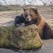 Montana grizzly bear, Louisville Zoo