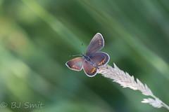 Silver studded blue / Heideblauwtje (Plebejus argus) (BJSmit) Tags: macro kampina blauwtje vlinder butterfly plebejus plebejusargus heideblauwtje silverstuddedblue oirschot noordbrabant netherlands