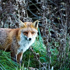 Vos in amsterdamse waterleiding duinen. (Dietjee) Tags: fox vos natuur nature awd amsterdamsewaterleidingduinen zandvoort olympusm75300mm olympus omdem5