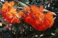Eucalyptus ficifolia (Bev-lyn) Tags: flowers red blossom outdoors nature australia