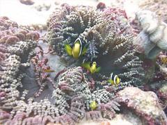 Amphiprion chrysopterus in Heteractis aurora (kmlk2000) Tags: maldives vacation sea ocean sealife sun blue underwater fish poisson beach reef