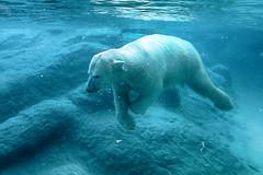 moment of peace (ucumari photography) Tags: ucumariphotography animal mammal nc north carolina zoo january 2019 polarbear ursusmaritimus oso bear osopolar ourspolaire oursblanc eisbär ísbjörn orsopolare полярныймедведь anana dsc5160 specanimal