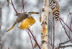 Northern Flicker (Peter Stahl Photography) Tags: flicker northernflicker male yellowshaftedflicker snow winter grey