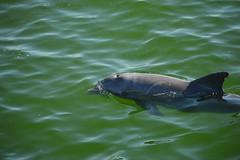 Coming up for a breath (radargeek) Tags: florida fl 2018 october beach naplesbeach dolphin