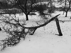 Grätsche (shortscale) Tags: schwarzweiss blackandwhite noiretblanc monochrome schnee wiese streuobstwiese sturmschaden schneebruch