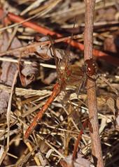 2018_10_0299 (petermit2) Tags: commondarterdragonfly commondarter dragonfly pottericcarr potteric doncaster southyorkshire yorkshire yorkshirewildlifetrust wildlifetrust ywt
