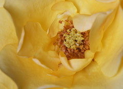 DSC_2503 (PeaTJay) Tags: nikond750 sigma reading lowerearley berkshire macro micro closeups gardens indoors nature flora fauna plants flowers rose roses rosebuds