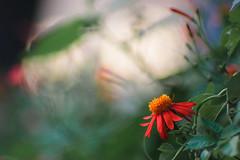 Sunset flowers (yusuf.ronco) Tags: canot2i canonrebel cheapdslr neworleans nola vintagelens 135mmf28 135mm manuallens primelens adaptedlens flowers bokeh bokehbliss