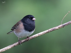Dark-eyed Junco II (dennis_plank_nature_photography) Tags: avianphotography thurstoncouny birdphotography naturephotography wa avian birds blind copspse home littlerock nature