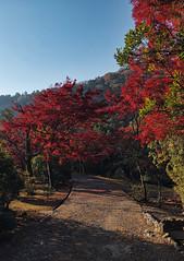Fall Foliage (bacon.dumpling) Tags: autumn fallfoliage fujinonxf16mmf14rwr japan koyo kyoto leafchangingseason fujifilmxpro2