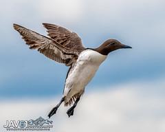 Common murre or Guillemot (Uria aalge) landing-4136 (George Vittman) Tags: bird flight guillemot landing murre nikonpassion wildlifephotography jav61photography jav61 ngc factasticnature