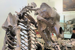 Cave Bear (edenpictures) Tags: fossil bones skeleton skull prehistoric extinct mammal newyorkcity nyc manhattan americanmuseumofnaturalhistory amnh naturalhistorymuseum museum upperwestside