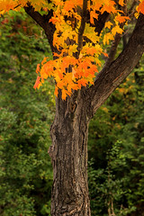 MD Autumn Tree 3-0 F LR 11-8-18 J081 (sunspotimages) Tags: tree trees forest fall falltree falltrees fallforest autumntree autumntrees autumnforest nature landscape falllandscape autumnlandscape