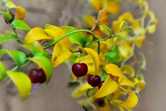 weeds (Bridal Creeper) (holly hop) Tags: nature flower plant weeds arrangement flora beauty abstract stilllife australia starnaud victoria yellow creeper seed smilax bridalcreeper
