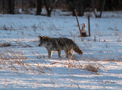 IMG_0129 (Scott Martin - Photographer) Tags: animals inglewoodbirdsanctuary calgary alberta canada coyote