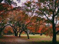 Good-bye, autumn (Kito K (fxkito2)) Tags: nature japan autumn tokyo lumix olympus red omd