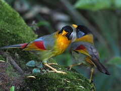 Silver-eared Mesia (ChongBT) Tags: nature natural wild life wildlife animal bird avian ornithology watching birdwatching malaysia olympus montane highland leiothrix argentauris silver eared mesia