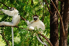 Verreaux's Sifakas Sitting In a Tree (Susan Roehl) Tags: madagascar2017 largeislandoffthecoastofafrica lemurs verreauxssifaka propithicusverrauxi endemictoisland modeoflocomotion hoppingsidewayswitharmsup patternoflocomotion 101speciesandsubspecies mediumsized indriidaefamily varietyofhabitats rainforest deciduousdryforests thicksilkyfur longtail arborealexistence smalltroops foursubspecies generally18yearsold sueroehl photographictours naturalexposures panasonic lumixdmcgh4 100400mmlens animal mammal herbivore conspiracy ngc coth5
