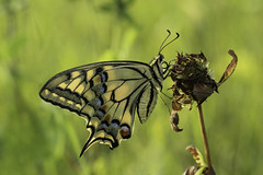 Pääsusaba magamistoas/Swallowtail in the evening light (aiveaarma) Tags: pääsusaba papilio old world swallowtail schwalbenschwanz liblikad liblikas butterfly summer evening light tamron90 machaon macro eesti estonia