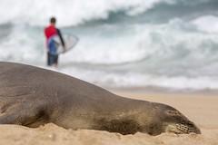 To Each Their Own - Monk Seal (Edmonton Ken) Tags: monk seal mammal fur sand beach whiskers content happy maui hookipa park tourism vacation travel hawaii endangered neomonachus schauinslandi phocidae surfer surf waves ocean island