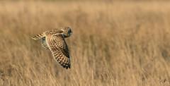 Short Eared Owl-0605 (WendyCoops224) Tags: 100400mml 80d fens canon eos ©wendycooper short eared owl asio flammeus