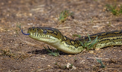 diamond python (Fat Burns ☮) Tags: diamondpython moreliaspilota carpetsnake snake python wildlife australianwildlife fauna australianfauna nature oxleycreekcommon brisbane queensland australia