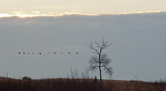 channels (IONclad Photo) Tags: 2phototype 2012 4places alberta ionclad canada dark dim fly geese lake landscape line move murnam murnham out silhouette sunset tree