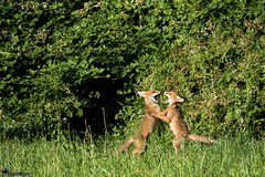 Première danse. (suzukigsxr67700) Tags: renard fox wildlife nature sauvage canon animaux animals animalier