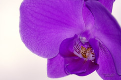 orchid ... on my window (mariola aga) Tags: plant flower orchid purple closeup whitebackground coth alittlebeauty coth5