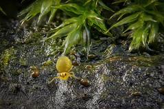 Sminthurinus  aureus (Kugelspringer) Collembola < 0,5 mm - Ein Springschwanz (Isotoma viridis) hat sich auch noch im Moos versteckt (AchimOWL) Tags: macro makro natur nature animals tiere insekt insect raynox springtail kugelspringer collembola tier animal outdoor wood wald dmcgx80 gx80 panasonic textur schärfentiefe ngc olympus fauna masn202 bielefeld deutschland macrodreams springschwanz