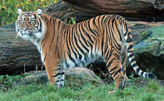 sumatran tiger Burgerszoo 094A2138 (j.a.kok) Tags: animal asia azie tijger tiger burgerszoo burgerzoo mammal zoogdier dier predator sumatraansetijger sumatrantiger sumatra pantheratigrissumatrae