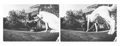 W/Milo (MilanAmanda) Tags: dogs dog animals pet canon7d fisheye samyang digitalphotography italy