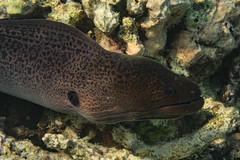 Giant Moray (davee10101) Tags: 2018 fish giantmoray gymnothoraxjavanicus kandholhu maldives moray kandholhudhoo mv
