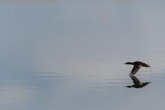 Fly By (djrocks66) Tags: wildlife animals nature outdoors sky sunset sunrise landscapes birds ducks boating fishing bald talons prey bif water river nikon ny long island