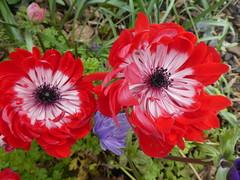 UK - London - Rainham - Rainham Hall - Garden - Red flowers (JulesFoto) Tags: uk england northeastlondonramblers london rainham rainhamhall nationaltrust flowers garden