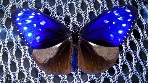 Family : Nymphalidae, Scientific Name : Euploea mulciber, Common Name : Striped Blue Crow, Origin : Surabaya, East Java, Indonesia.   #stripedbluecrowbutterfly #euploeamulciber #nymphalidae #butterfly #moth #lepidoptera #insect #entomology