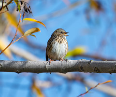 Lincoln's Sparrow (CheeToS0) Tags: bird birding lincolnssparrow nature nikon200500mm nikond750 northwest pacificnorthwest perch pnw seattle sparrow washington wildlife