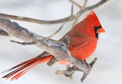 northern cardinal male at Lake Meyer Park IA 653A9677 (lreis_naturalist) Tags: northern cardinal male lake meyer park winneshiek county iowa larry reis