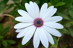 African Daisy (Steve Bellamy) Tags: flower daisy fuji x100