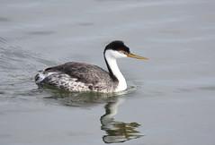 Western Grebe (Christopher Lindsey) Tags: pond23island otayriver sandiegocounty california birds birding westerngrebe