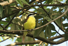 Tyran quiquivi - Great kiskadee (Puce d'eau) Tags: kiskadee tyran quiquivi oiseaux birds aves mexique yucatan quintana roo playa carmen canon eos 7d tamron