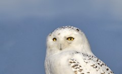 Snowy Portrait (hd.niel) Tags: snowyowl owls arctic tundra migration eyes nature wildlife photography ontario