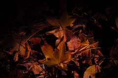 Autumn Leaves (Tim Harwick) Tags: yellow brown fall winter trees holidays plant growth nature leaf no people closeup part focus foreground branch outdoors day beauty color homeiswheretheheartis loveourhome resolutions light sunlight sunflare shoot available sun sierra madre walk flare golden back lit natural gold canon 30d dslr canon30d