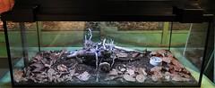 Platymeris enclosure (markusOulehla) Tags: platymerisenclosure assassinbugenclosure zweifleckraubwanze raubwanze insekt insect hemiptera reduviidae assassinbug platymerisbiguttatus twospottedassassinbug markusoulehla oulehla nikon nikonnature nikond90 naturthemensteige naturkundemuseumbielefeld namubielefeld naturkundemuseum naturhistorischesmuseum naturalhistorymuseum sonderausstellung specialexhibition gifttieretödlichelebensretter gift toxin medizin giftalsmedizin medikamente toxicanimalsdeadlylivesavers venomousanimals poisonousanimals toxicanimals venom poison rentableexhibition gifttierhauseimsheim