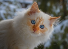 You see that ? The strange white stuff has invaded my garden again ! (FocusPocus Photography) Tags: tofu dragon katze kater cat chat gato tier animal haustier pet winter schnee snow