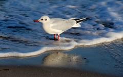 Schaumbad. (♥ ♥ ♥ flickrsprotte♥ ♥ ♥) Tags: möwe strand ostsee wasser natur januar2019
