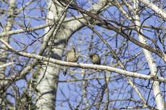 Dove and cowbird (StarRider1300) Tags: cowbird morningdove dove birds pair